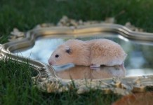 Can Hamsters Swim?