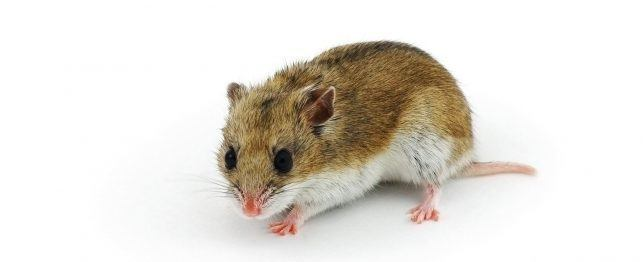 Choosing a Chinese Hamster