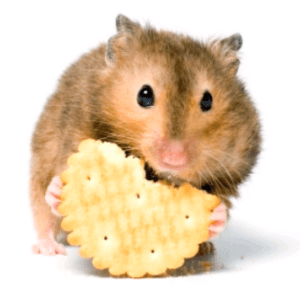 Hamster_earting_biscuits