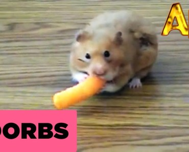 Cheese Doodle Hamster Hero   Animals   AFV - cheese doodle hamster hero animals afv
