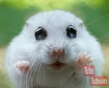 Cute Hamsters - Cute Hamsters Doing Funny Things [ MOST WATCH !! ] - cute hamsters cute hamsters doing funny things most watch