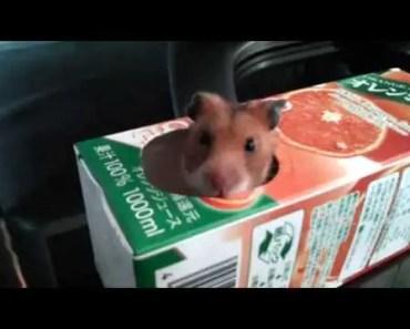 cute sleepy hamster's big yawn (funny animal video) - cute sleepy hamsters big yawn funny animal video