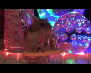 Funny animals Toby the hamster make funny video at disco - funny animals toby the hamster make funny video at disco