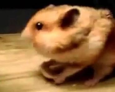 Funny Daring Hamster: Funny Animal Compilation 2014 - funny daring hamster funny animal compilation 2014