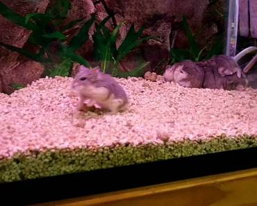 funny dwarf hamster - funny dwarf hamster