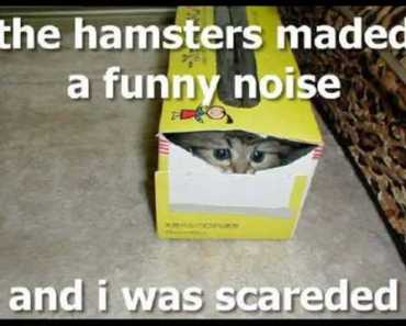Funny Guinea Pigs And Hamster - funny guinea pigs and hamster