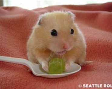 Funny Hamster Dace!!! - funny hamster dace