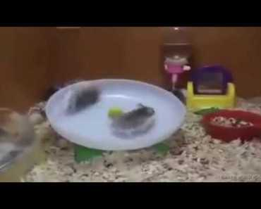 Funny Hamster from my neighbor - funny hamster from my neighbor