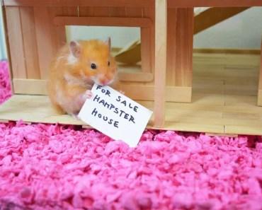 FUNNY Hamster House Hunting - Cupcake HamHam Show - hamster house - funny hamster house hunting cupcake hamham show hamster house