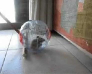 funny hamster in a running ball !! - funny hamster in a running ball
