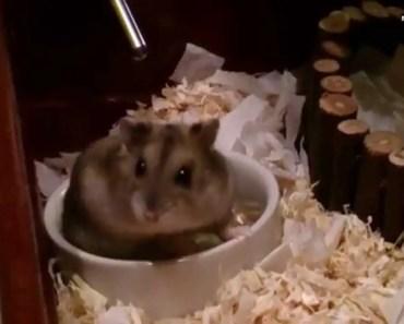FUNNY HAMSTER LIFE - Russian Dwarf MISHKA - funny hamster life russian dwarf mishka