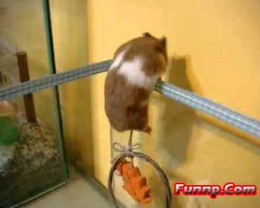 Funny Hamster Trying to Escape - funny hamster trying to escape