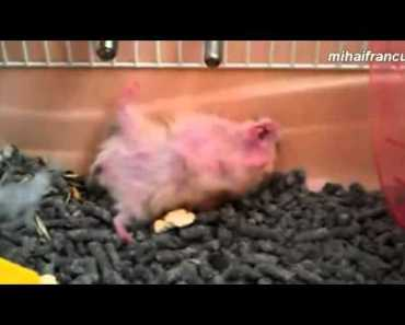Funny Hamsters Playing Dead After Finger Shot Compilation - funny hamsters playing dead after finger shot compilation