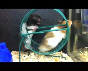 Funny Teddy Bear Hamsters HILARIOUS MUST SEE - funny teddy bear hamsters hilarious must see