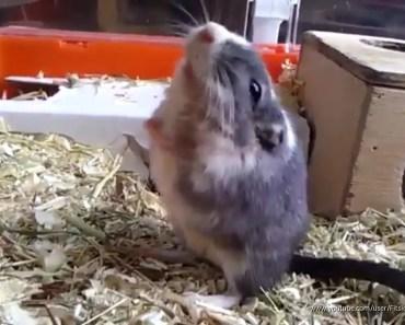 GERBIL - FREAKS OUT - funny, videos , rennmaus,wüstenrennmaus,gerbille,Hamster,jerbo, - gerbil freaks out funny videos rennmauswustenrennmausgerbillehamsterjerbo