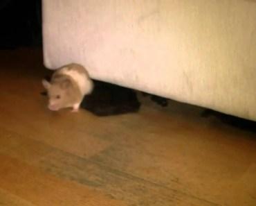 Hamster funny moonwalk - hamster funny moonwalk