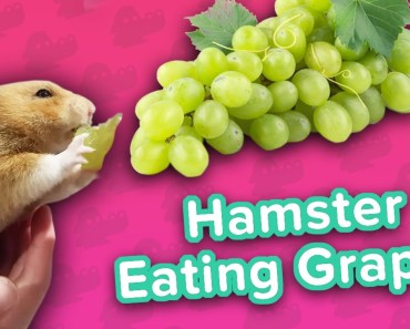 Hamster Loves Grapes & Cardio Dachsunds! // Funny Animal Compilation - hamster loves grapes cardio dachsunds funny animal compilation