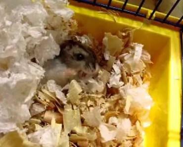 Hamster screms FUNNY!!!!!!!!) - hamster screms funny