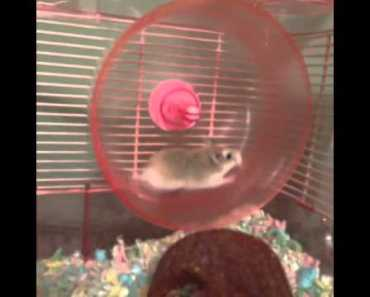 Hamster Wheel FAIL - [Funny Vine Of The Day] - ULTIMATE VINES - hamster wheel fail funny vine of the day ultimate vines