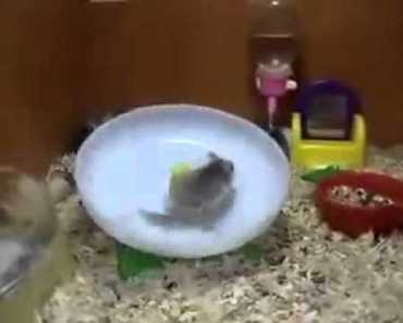 Hamsters spinnig around on a wheel funny animals Benny Hill theme LOL - hamsters spinnig around on a wheel funny animals benny hill theme lol