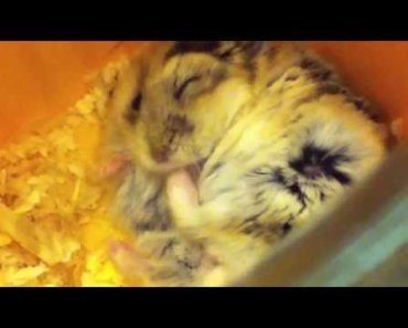Miffy - Funny dwarf hamster scratching himself! - miffy funny dwarf hamster scratching himself