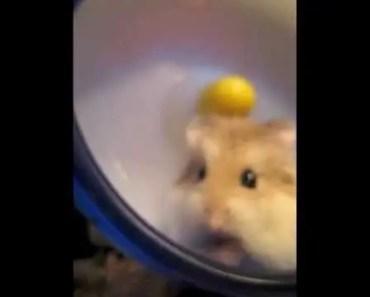 My cute Roborovski hamster, Pixel, doing funny things. - my cute roborovski hamster pixel doing funny things