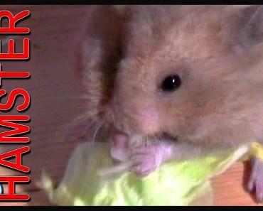 NOM NOM NOM NOM NOM NOM NOM - Swiffer the Hamster - funny HD! - nom nom nom nom nom nom nom swiffer the hamster funny hd