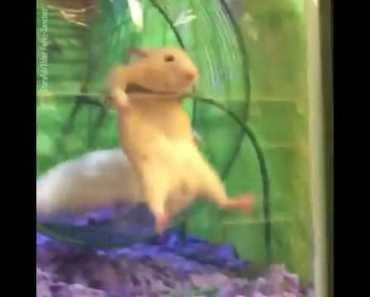 PETSMART Hamsters Stuck on Wheel funny - petsmart hamsters stuck on wheel funny