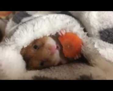 Sometimes you just need a hamster, eating a carrot, wrapped in a blanket Funny Videos BestAvailable - sometimes you just need a hamster eating a carrot wrapped in a blanket funny videos bestavailable