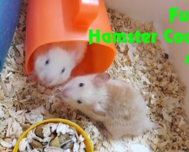 SUPPER FUNNY HAMSTER COUPLE #2 | CẶP ĐÔI HAMSTERS SIÊU DỄ THƯƠNG #2 - supper funny hamster couple 2 cap doi hamsters sieu de thuong 2