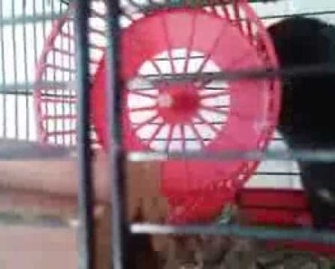 The wrong way but funny way to use a Hamster wheel - the wrong way but funny way to use a hamster wheel