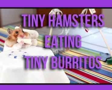 Tiny Hamster Eating Tiny Burritos (Ep. 1) - tiny hamster eating tiny burritos ep 1