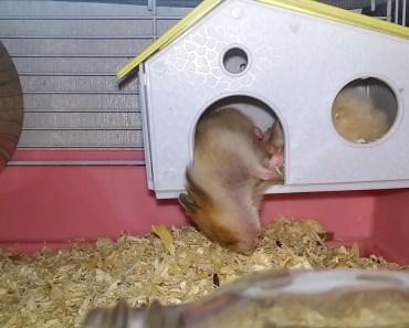 Funny Hamster - 1508569257 funny hamster