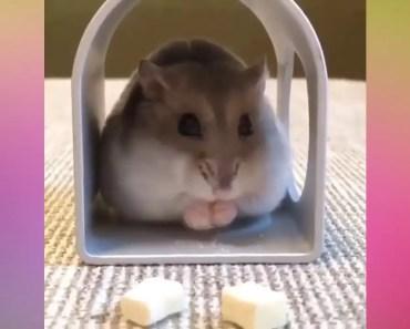 A hamster is a glutton - a hamster is a glutton