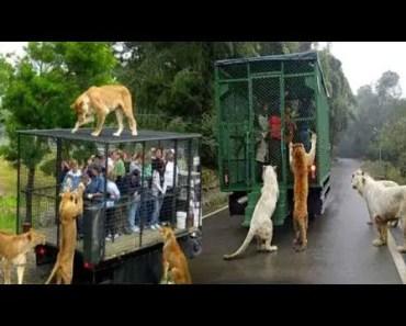 Amazing Wild animals attack car !! zoo animals attack people in cars compilation - amazing wild animals attack car zoo animals attack people in cars compilation