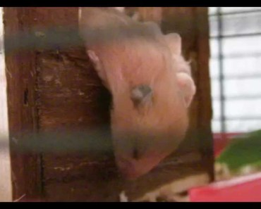 Baby hamster sleeps and then falls down (Emma's Baby) - baby hamster sleeps and then falls down emmas baby