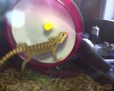 Bearded dragon using hamster wheel - bearded dragon using hamster wheel