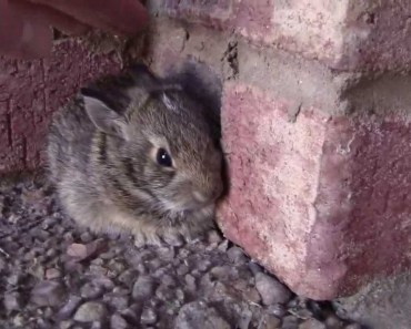 Catching a Baby Screaming Bunny - catching a baby screaming bunny