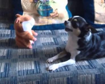 Chihuahua and Talking Hamster - chihuahua and talking hamster