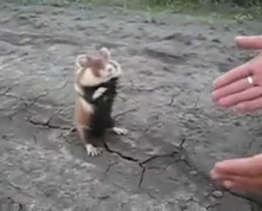 Crazy Russian Hamster Fighting - crazy russian hamster fighting