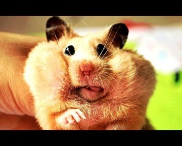 Cute and Funny Hamster Videos - Try not to Laugh - cute and funny hamster videos try not to laugh