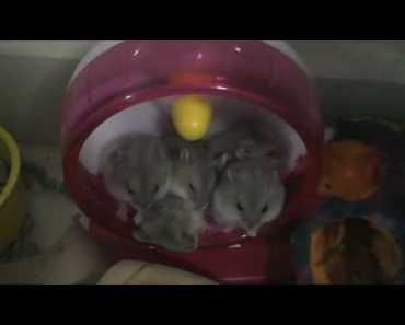 Cute Funny hamsters sleeping together in a hamster wheel - cute funny hamsters sleeping together in a hamster wheel
