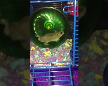 Cutest hamster ever *VERY FUNNY* - cutest hamster ever very funny