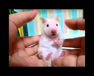 Did you touch my ear cute hamster - did you touch my ear cute hamster