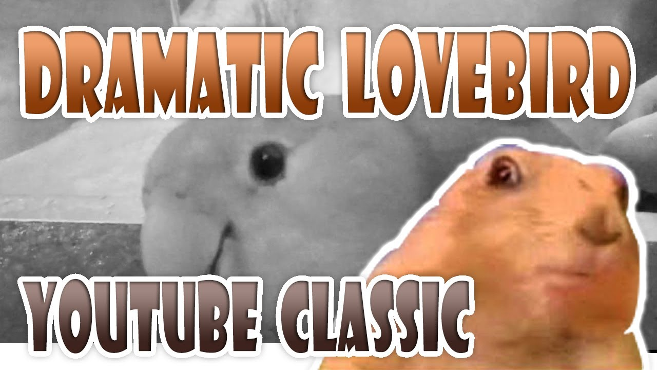 DRAMATIC LOOK LOVEBIRD | Youtube Classic Dramatic Gopher / Hamster /  Prairie Dog / Chipmunk / Beaver