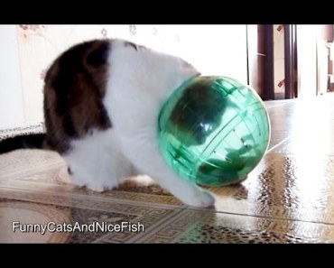 Funny Cat Rocky and Hamster Ball - funny cat rocky and hamster ball