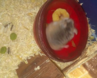 FUNNY HAMSTER EATING BANANA #very funny# - funny hamster eating banana very funny