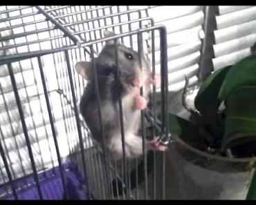Funny hamster (walking on ceil) - funny hamster walking on ceil