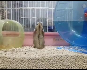 Funny Salto hamster - funny salto hamster