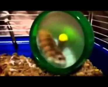 Funny Video Hamsters Spinning Out Of Control Funny New 2014 - funny video hamsters spinning out of control funny new 2014